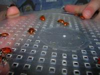 Ladybugs_036_1